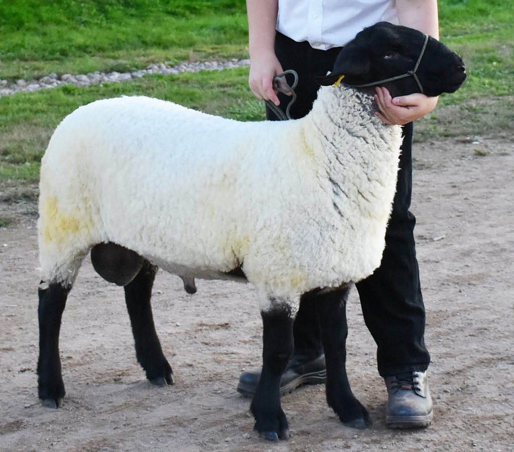 Sheep being held by 4-H Member