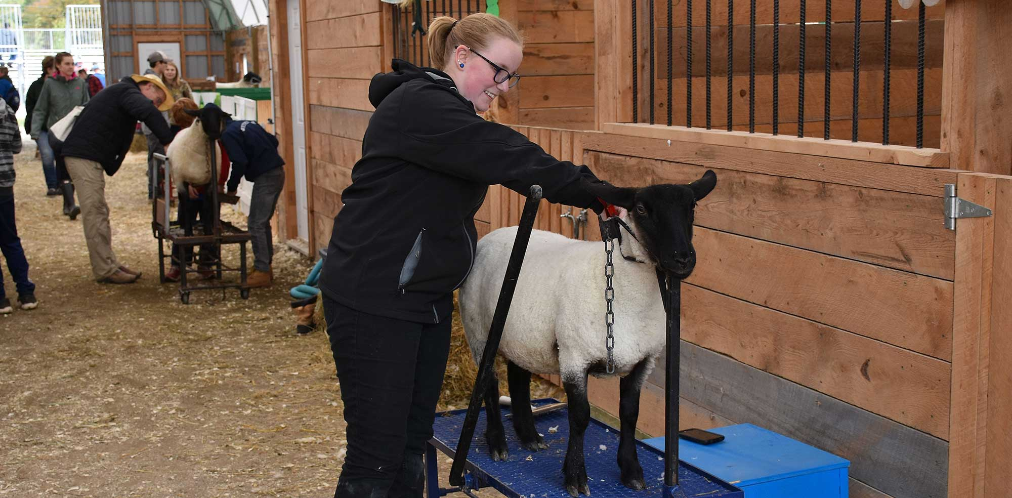 A girl grooming a sheep