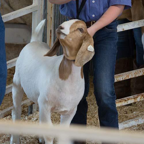 Market Goat