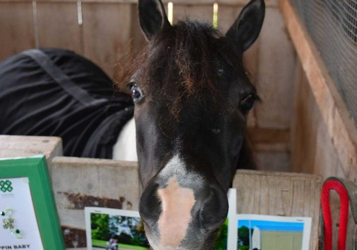 Mini Horse in stable